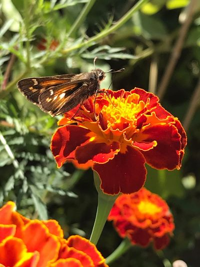 Insect Beauty In Nature Moth On Flower Freshness Growth Flower Head Focus On Foreground Outdoors Close-up Blooming Pollination Marigold Flower Multi Colored Pollen Fragility Focus On Foreground,shallow Focus Green Color Day