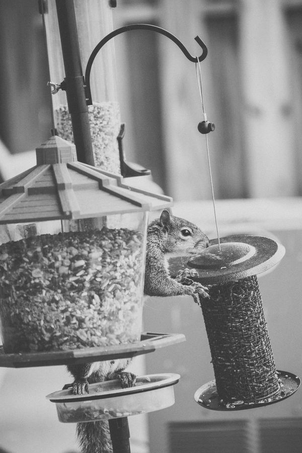 Animal Balancing Balancing Act Bird Feeder Bird Feeders Black & White Black And White Busted! Caught You Evidence Nature Nature On Your Doorstep Say Hello To My Little Friend Squirrel Wildlife