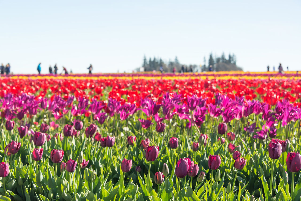 Vibrant colorful field of tulips in Woodburn, Oregon Beauty In Nature Colorful Day Field Flower Flowers Freshness Green Landscape Nature Oregon Outdoors Pacific Northwest  Pink Purple Red Row Rows Sky Tulip Tulips United States USA Woodburn Yellow