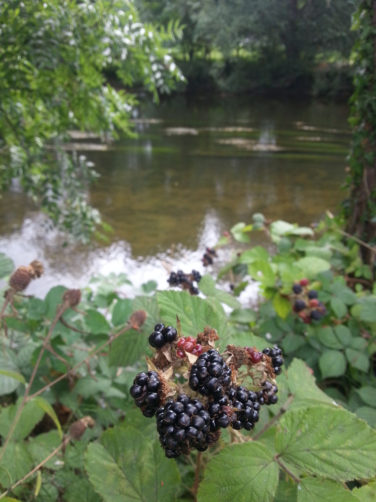 Blackberries by river Hafren in late summer Adapted To The City Beauty In Nature Berries Blackberries Blackberry Close-up Day Focus On Foreground Freshness Growth Hafren Leaf Nature Newtown Powys No People Outdoors Park Park - Man Made Space River River Severn Riverside Tree Wales Water Wild Food