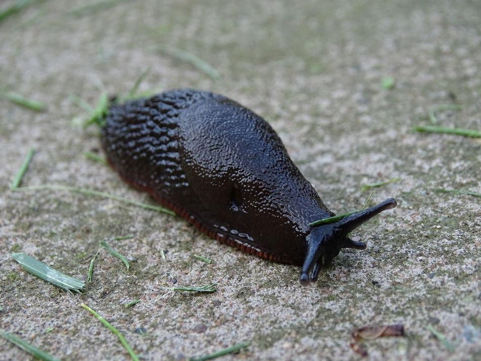 One Animal Animal Themes Slug Animals In The Wild Animal Wildlife Nature Close-up Outdoors No People Day Grass Slug Snail Bugs Nature Creatures Bug Life Bug Collection Slug Collection Creepy Crawly Creepy Crawlies