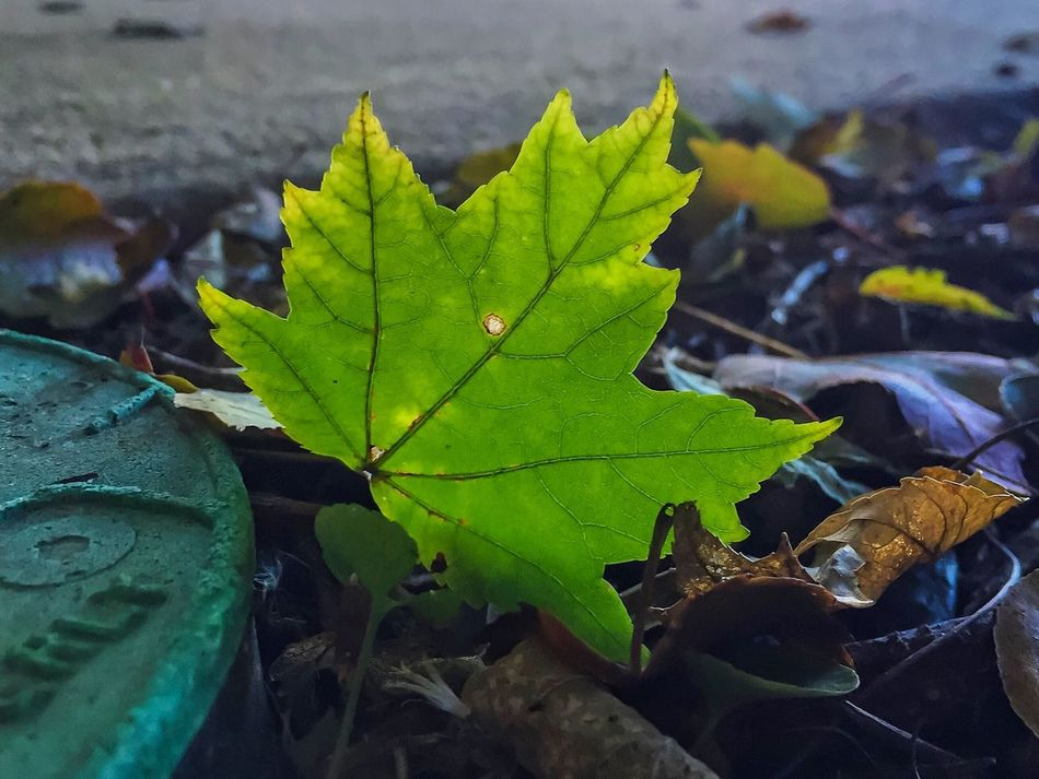 One Green Leaf Close-up Autumn Outdoors Beauty In Nature Found Object EyeEm Nature Lover Beauty In Nature Nature