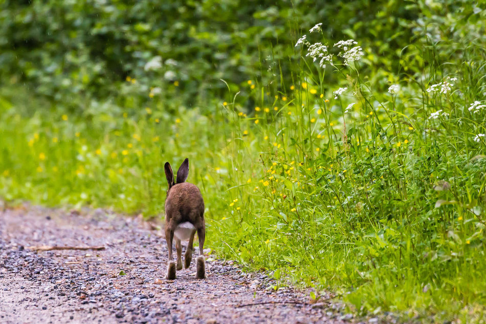 Beautiful stock photos of regen, Animal Themes, Animal Wildlife, Animals In The Wild, Brown Hare