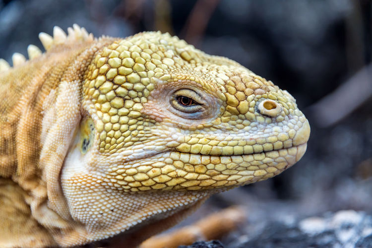 Closeup view of the face of a yellow Land Iguana on Isabela Island in the Galapagos Islands in Ecuador Conolophus Conservation Ecuador Endemic Evolution  Galapagos Galapagos Islands Iguana Isabela Island Islands Land Land Iguana National Park Nature Ocean Reptile South America Unique Wildlife Wildlife & Nature