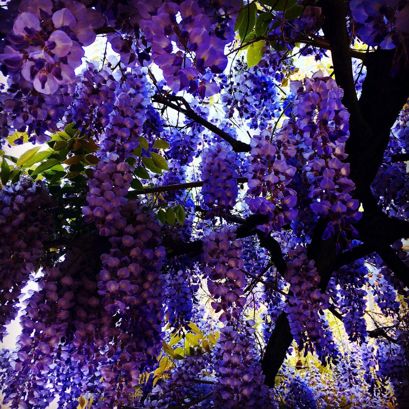 Amo la primavera ❤️❤️❤️ Glicine Glicineinfiore Purple Purple Flower Wisteriasinsis Glicineviola Primavera Fiori