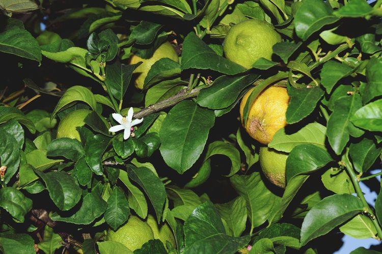 Green Color Close-up Freshness Beauty In Nature Growing Agriculture Myfarm Nature Green Color Macro Flower Organic Farm Lemons Lemontree