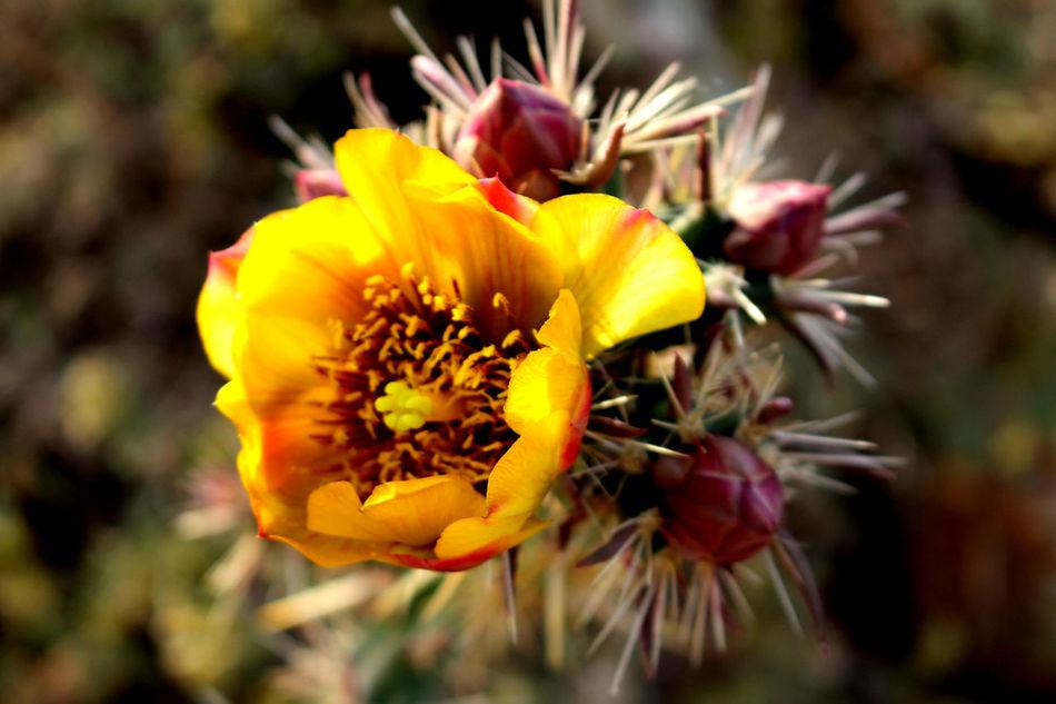 #AZcacti #azulejos #bloomingcactus #cactusbloo #closeup #hike #springinthedesert #sunset #sun #clouds #skylovers #sky #nature #beautifulinnature #naturalbeauty #photography #landscape #yellowflower
