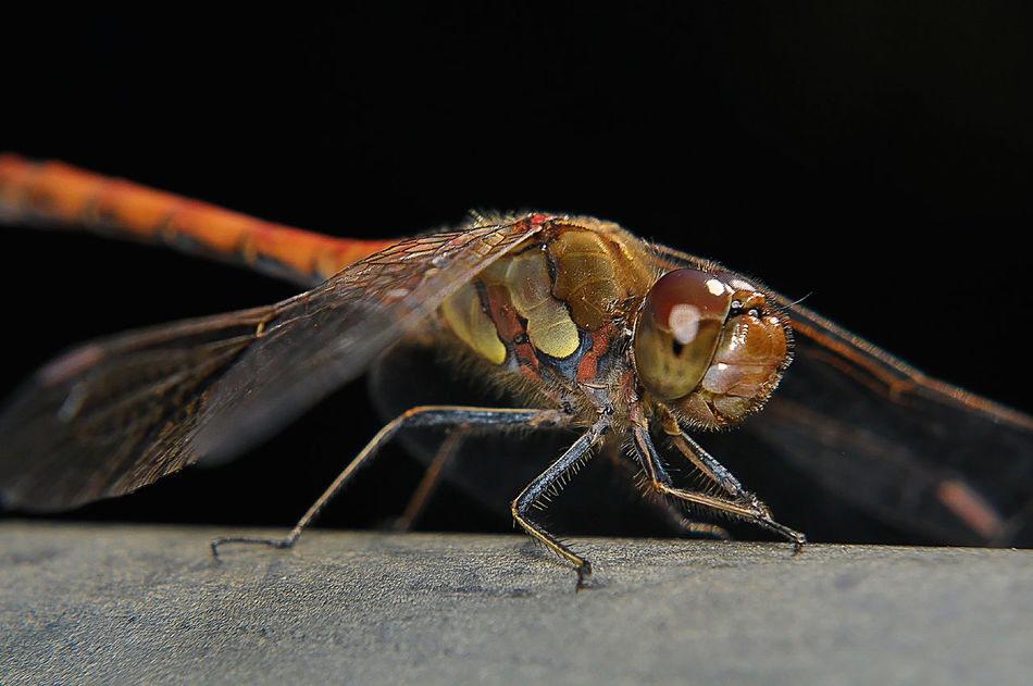 Animals In The Wild Close-up Dragonfly Focus On Foreground Insect Marcokleinphotography Nature One Animal Simplicity Wildlife Zoology