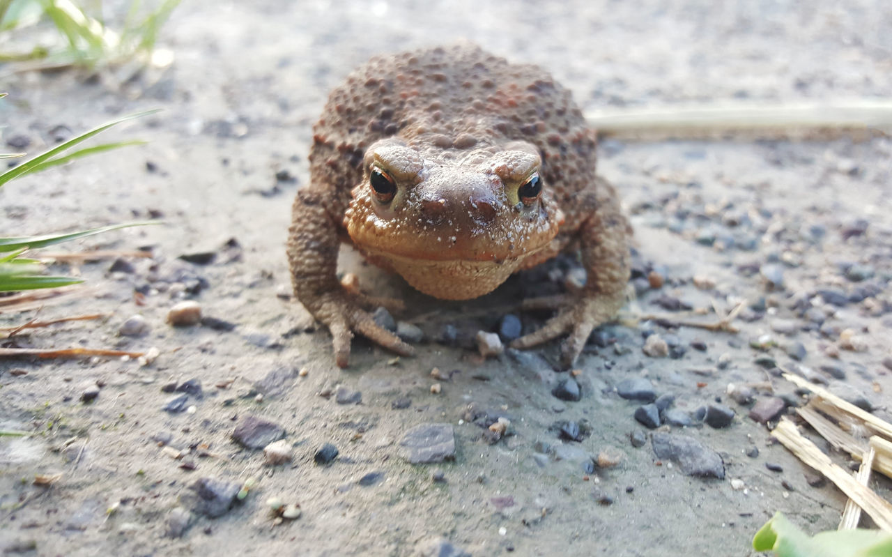 Toad king Bufonidae Crapaud Face Off Frog Kröte Nature Toad Toads Animal Animal Photography Animal Themes Animal Wildlife Animals In The Wild Close-up First Eyeem Photo Frogs No People One Animal Outdoors Portrait Reptile Small Animal 蟾蜍