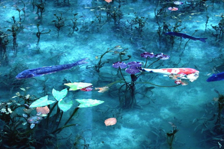 モネの池 First Eyeem Photo Seki Claude Monet Japan Water Lily, Flower