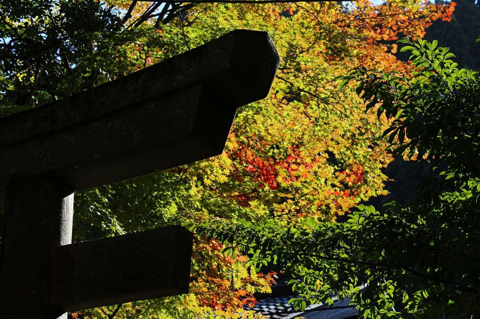 Tree Growth Nature Built Structure Autumn Leaves In The City Beauty In Nature Outdoors Japanese  Japanese Traditional TORII