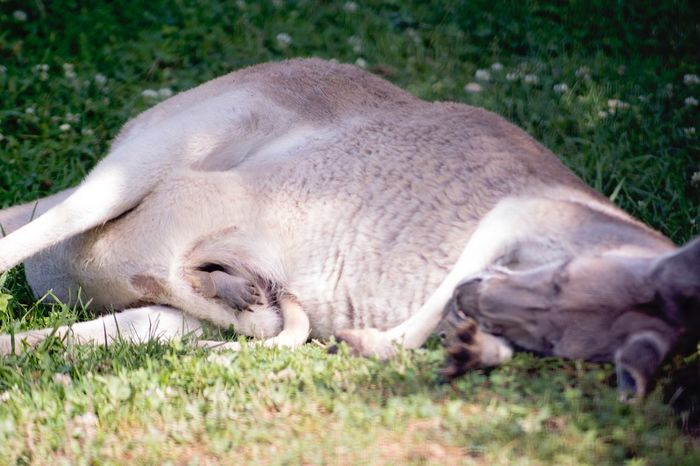 Red Kangaroo Grass Animal Themes Sleeping One Animal Mammal Lying Down Relaxation Field Domestic Animals Day No People Outdoors Nature Close-up Joey In Pouch