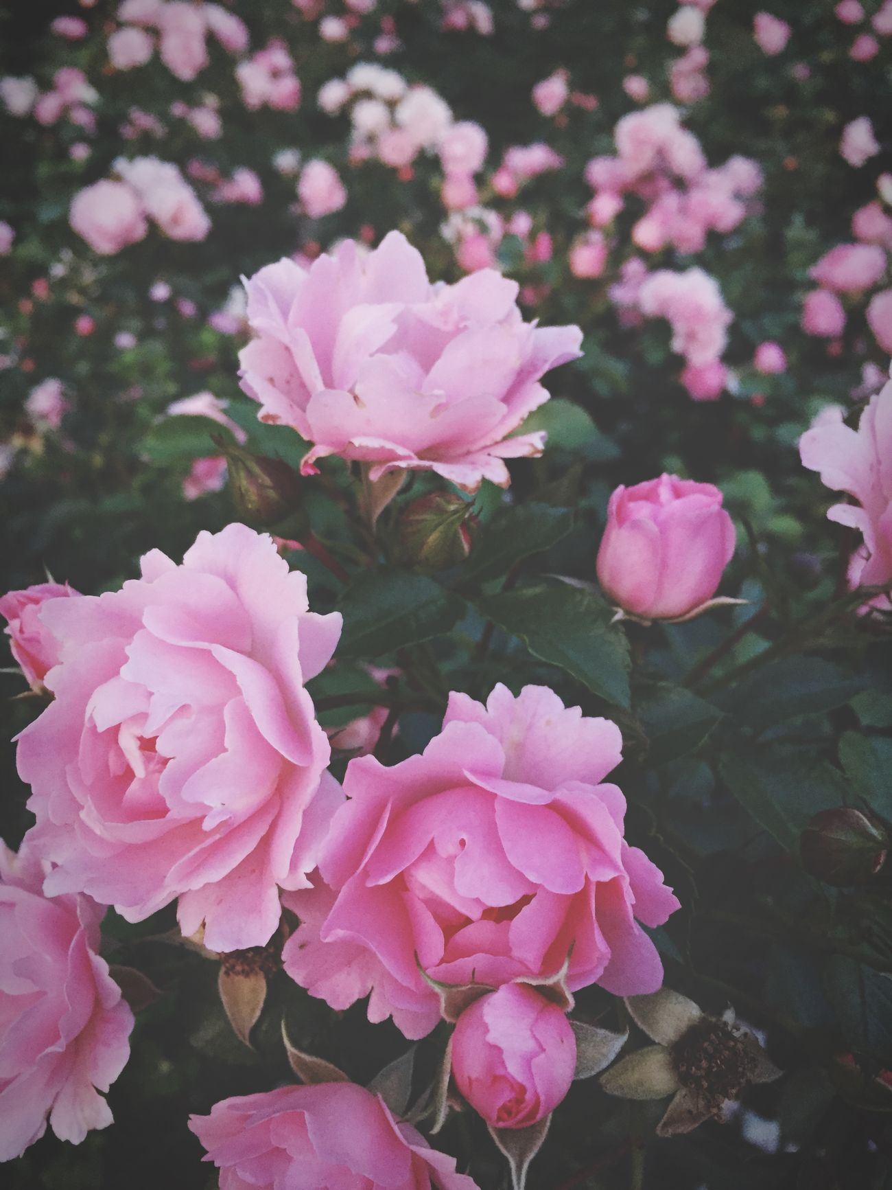 Flowers,Plants & Garden Flowers Pink Roses EyeEm Nature Lover Nature_collection IPhoneography