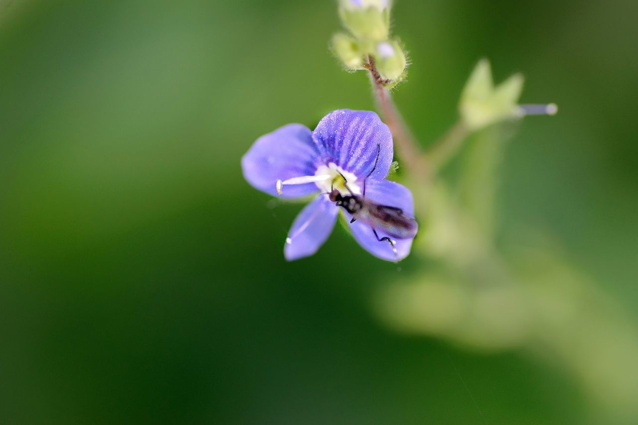 flower, nature, fragility, beauty in nature, petal, purple, growth, freshness, plant, no people, flower head, day, outdoors, blooming, close-up, animal themes