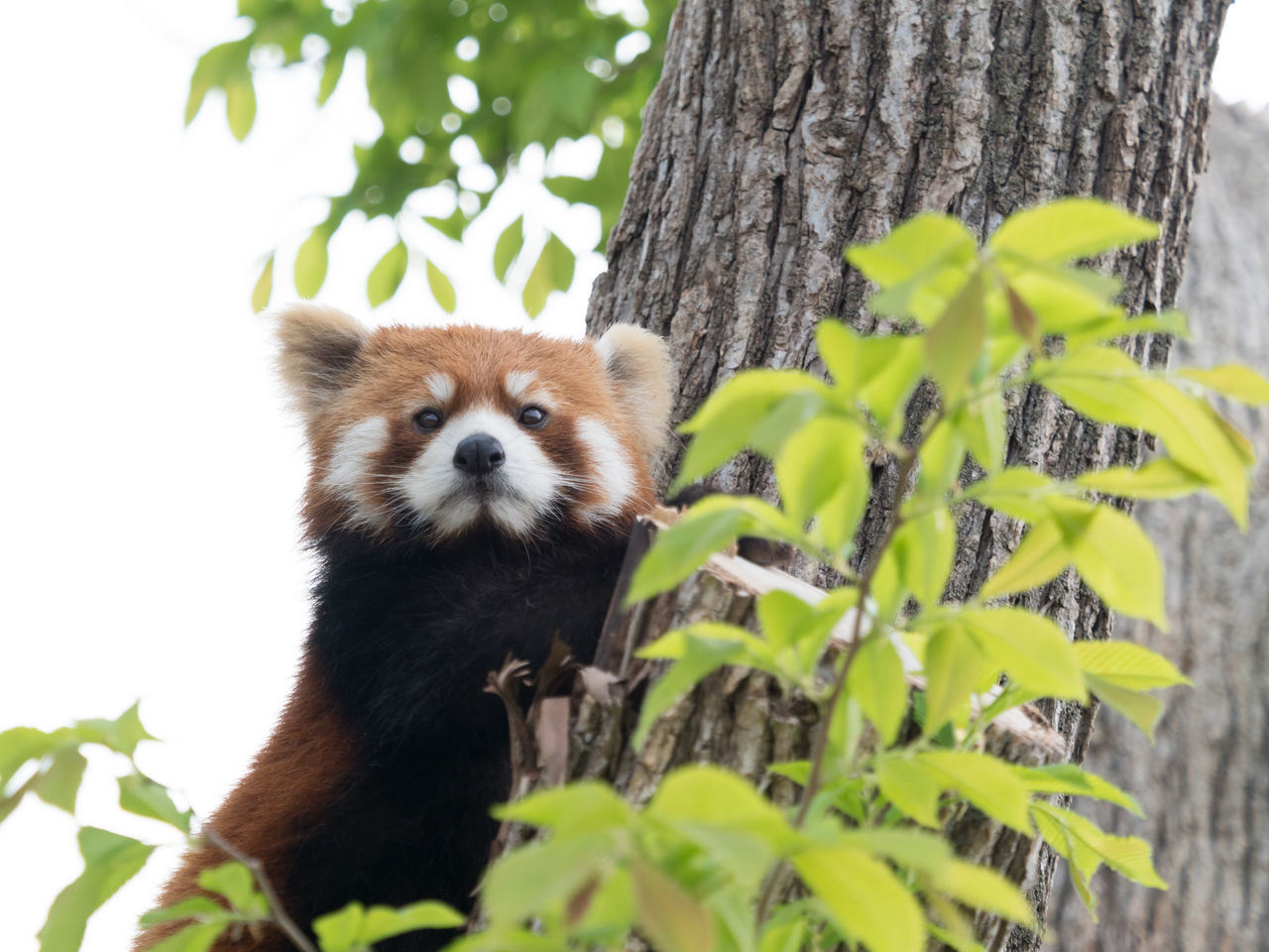 Ailurus Fulgens Animal Themes Animal Wildlife Animals In The Wild Branch Close-up Day Growth Leaf Lesser Panda Looking At Camera Mammal Nature No People One Animal Outdoors Panda - Animal Plant Portrait Red Panda Tree Tree Trunk Zoo