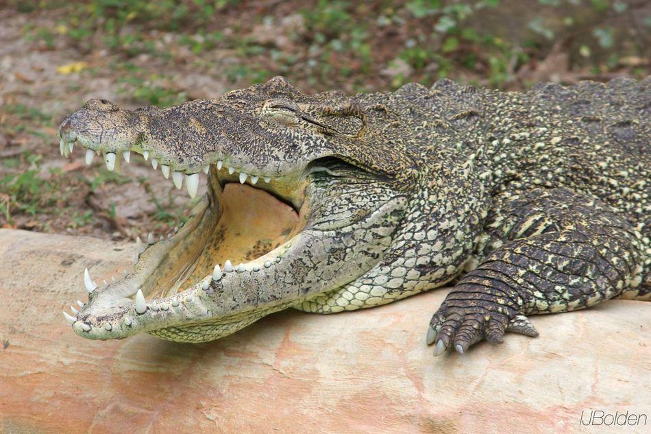 Metro Zoo Alligator