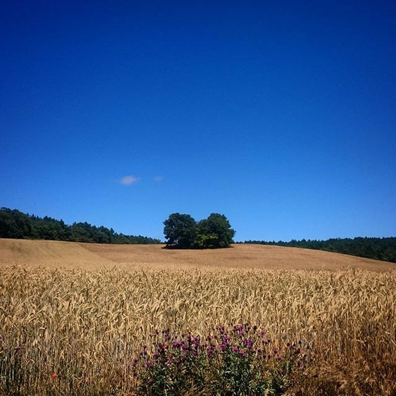 agriculture, field, blue, rural scene, crop, cereal plant, growth, summer, outdoors, nature, sky, no people, landscape, day, food, tree, clear sky, beauty in nature