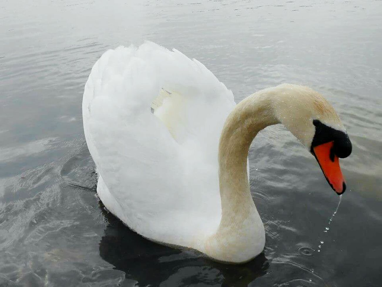 Swan Prince  Beautiful Creatures Taking Pictures Eye4photography  Lake Water Water Reflections EyeEm Animal Lover Swans On The Lake Beautiful Nature Pure White Winter Moments Bourges, France Close-up Posing Angel Wings Water Angel Taking Photos Animals In The Wild Reflection_collection Nature_collection Animal Photography Animals