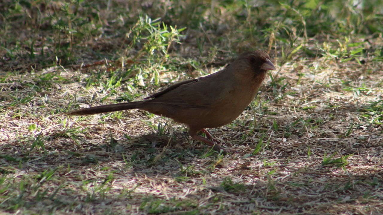 Abert's towhee looking for food. Abert's Towhee Animal Themes Animals In The Wild Bird Close-up Day EyeEm Nature Lover Field Focus On Foreground Forest Full Length Grass Nature No People One Animal Outdoors Perching Selective Focus Side View Sunlight Wildlife Zoology
