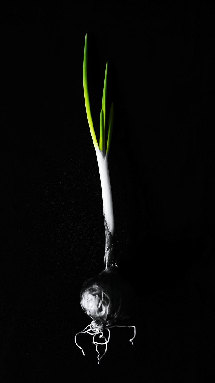 Close-Up Of Spring Onion Against Black Background