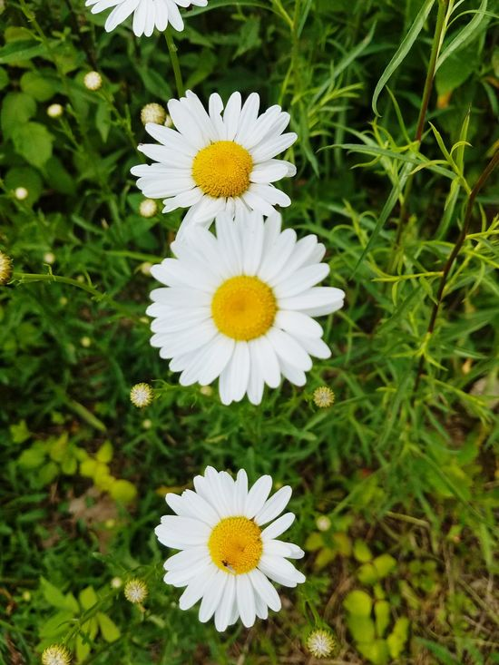 Flower Petal Freshness Flower Head Fragility White Color Nature Growth Beauty In Nature Plant Close-up Outdoors Blooming Day Yellow No People Dasiy God's Beauty