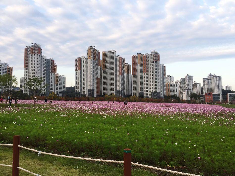 대한민국 수원시 광교 신도시 경기도청부지 코스모스밭 Korea Cosmos Flower 수원 Cosmos Flower Fall Autumn
