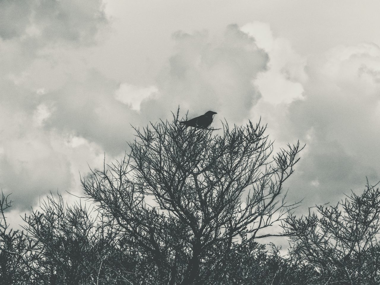 bird, animal themes, one animal, animals in the wild, sky, low angle view, cloud - sky, animal wildlife, day, flying, outdoors, no people, nature, tree, spread wings, crow, raven - bird, bird of prey