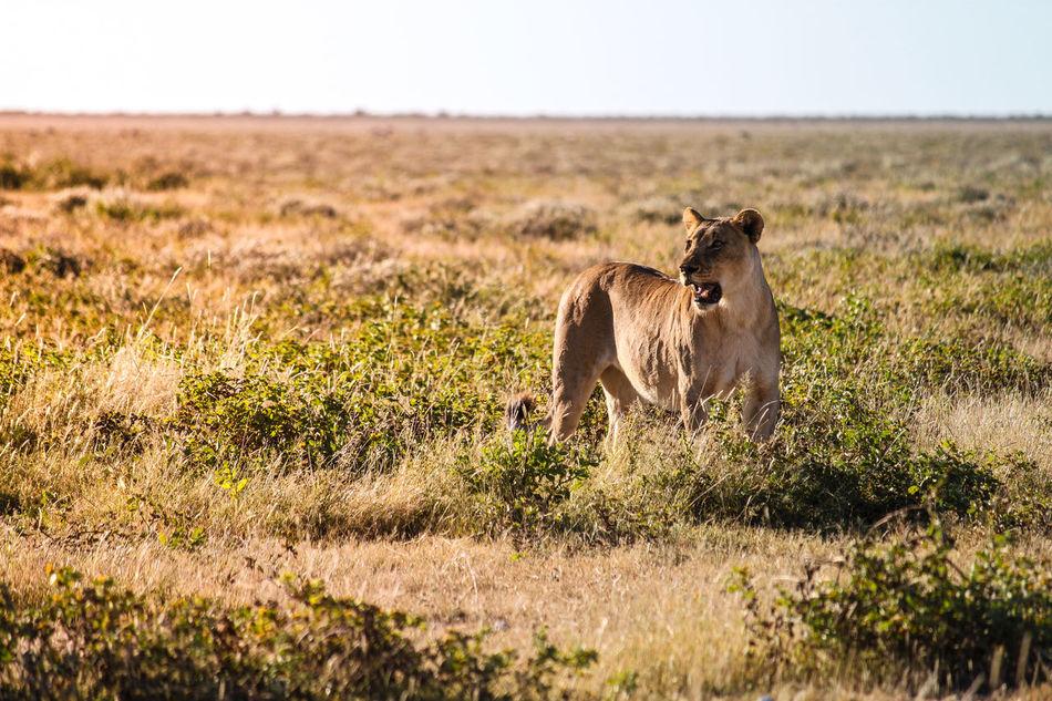 Beautiful stock photos of löwe,  Alertness,  Anger,  Animal,  Animal Call