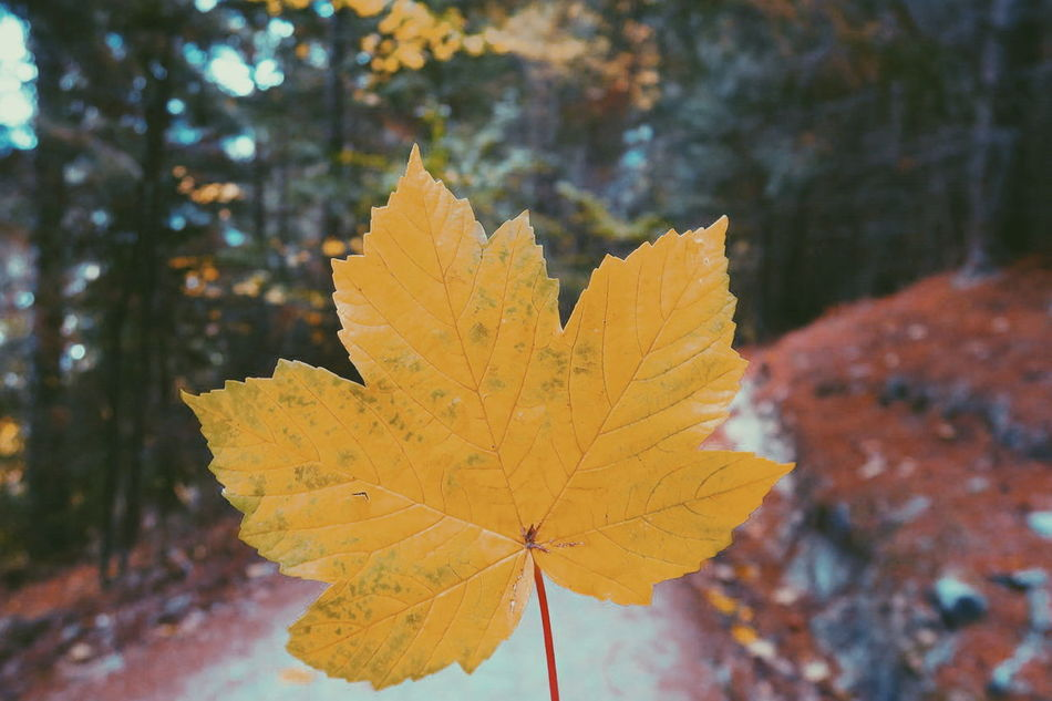 Close-up Leaf Yellow Autumn Nature Outdoors Forest Winter Beauty In Nature Growth Tree No People Cold Temperature Maple Leaf Mountain Track Tranquility Scenics