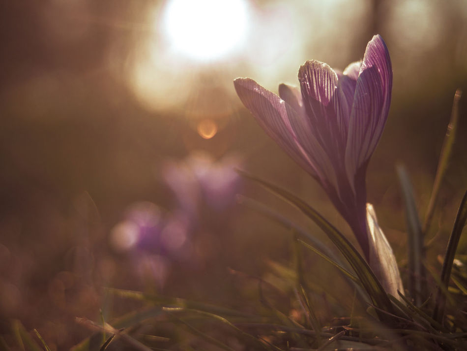 Beauty In Nature Blooming Close-up Crocus Day Flower Flower Head Focus On Foreground Fragility Freshness Growth Nature No People Outdoors Petal Plant Selective Focus Sunlight