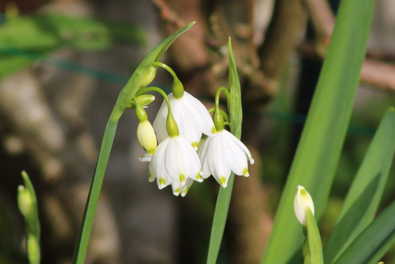 Beauty In Nature Blooming Bulb Close-up Day Flower Flower Head Fragility Freshness Garden Green Color Growth Leucojum Nature No People Outdoors Petal Plant Snowdrop Snowflake White Color