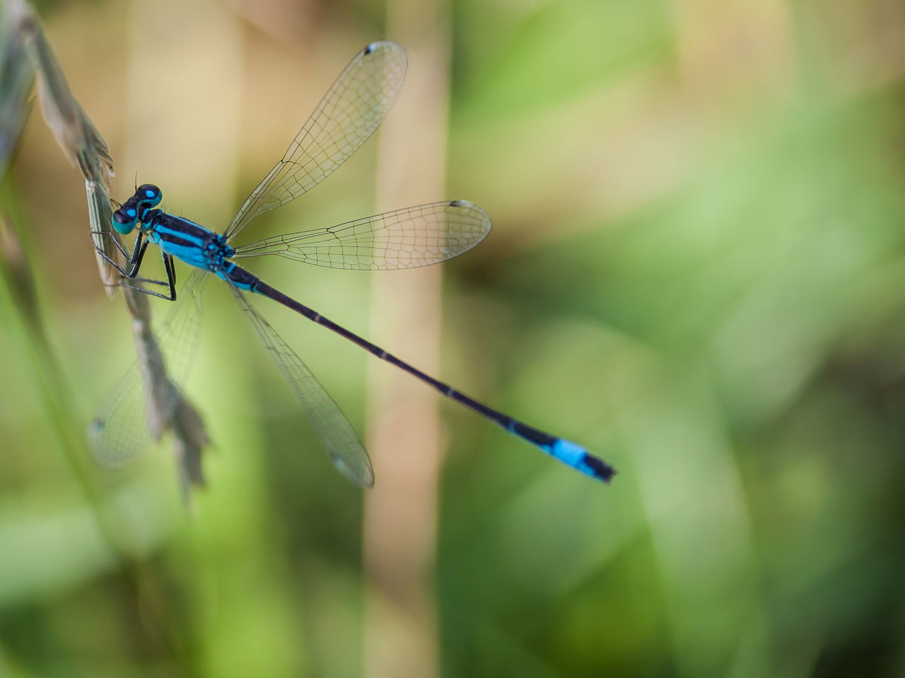 Drago-fly High BlueInsects Dragonfly Dragonfly Nature Insects EyEmReady EyeEmNewHere Green Macro Photography Makro Nature Wildlife & Nature Wildlife Photography Bluedragonfly Garden Insect Photography Insects  Libelle Libellen Macro Nature Macrophotography Nature_collection Wildlife