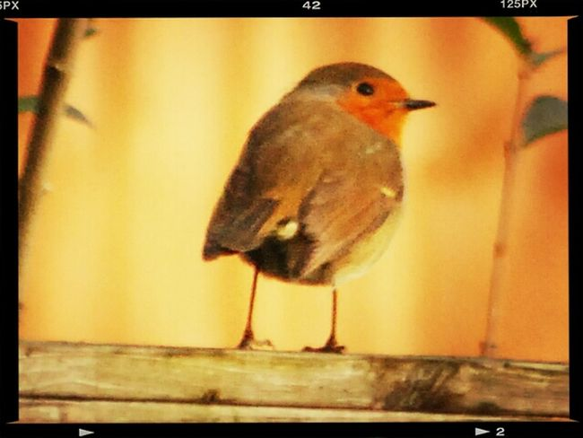 Little Robin Red Breast. Eye Em Nature Lover Birds Of EyeEm  Mynote3&EYEemediting