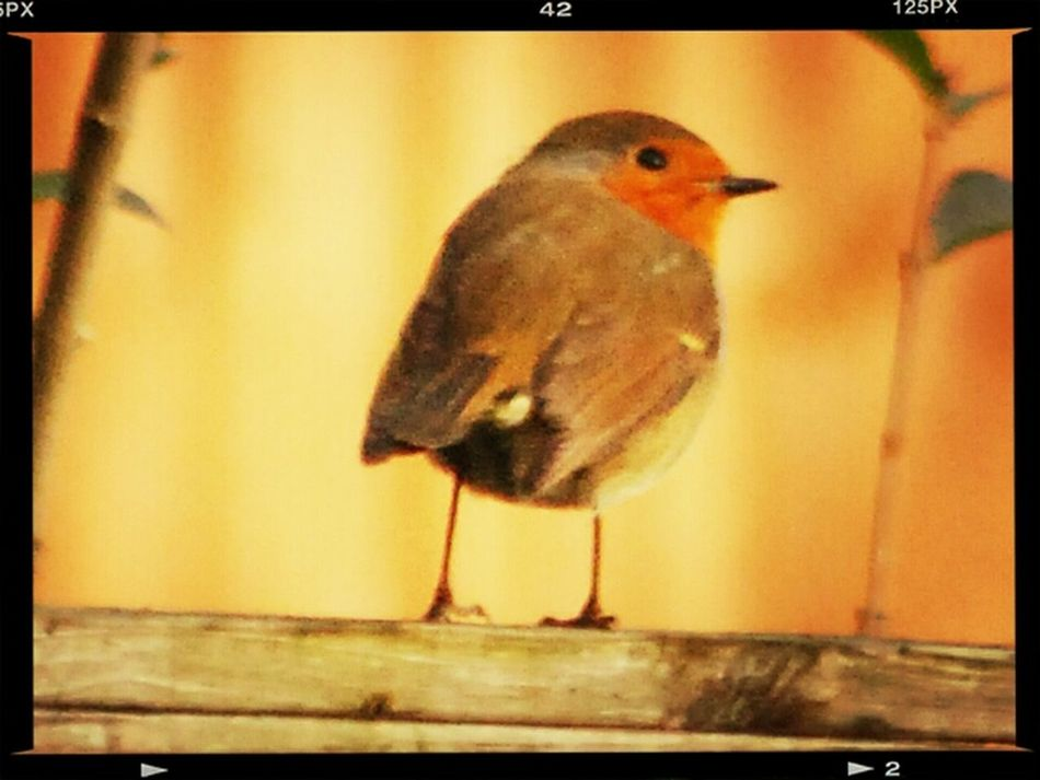 Little Robin Red Breast. Eye Em Nature Lover Birds Of EyeEm  Mynote3&EYEemediting