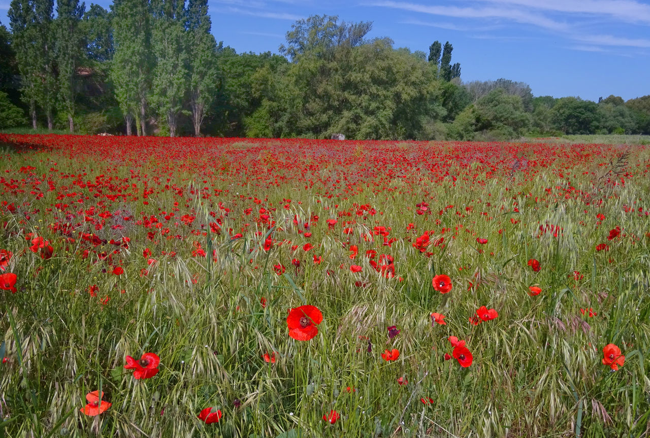 red, field, poppy, nature, growth, flower, beauty in nature, no people, outdoors, tree, plant, grass, rural scene, landscape, day, summer, scenics, sky, freshness