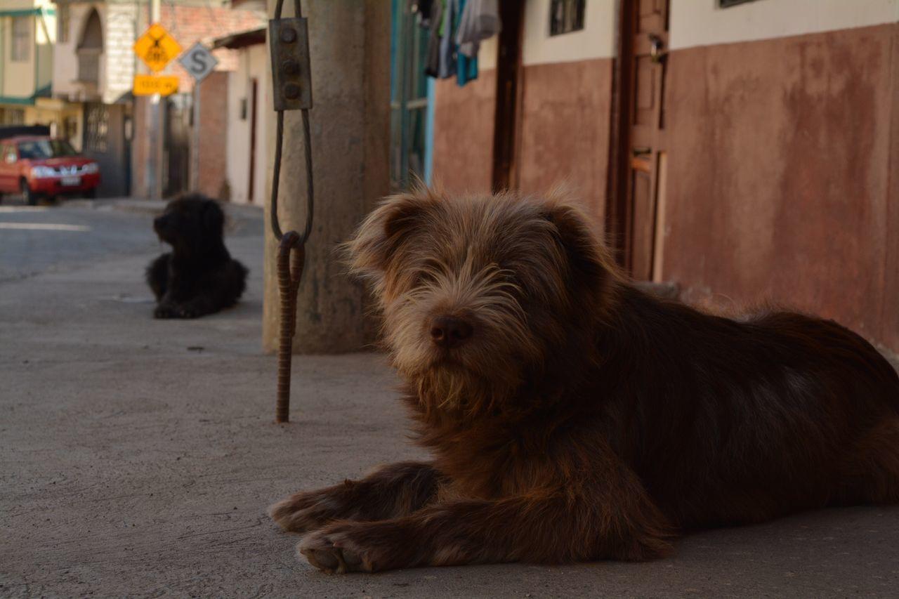 Eyeemphoto alausi - ecuador 2016 Dog