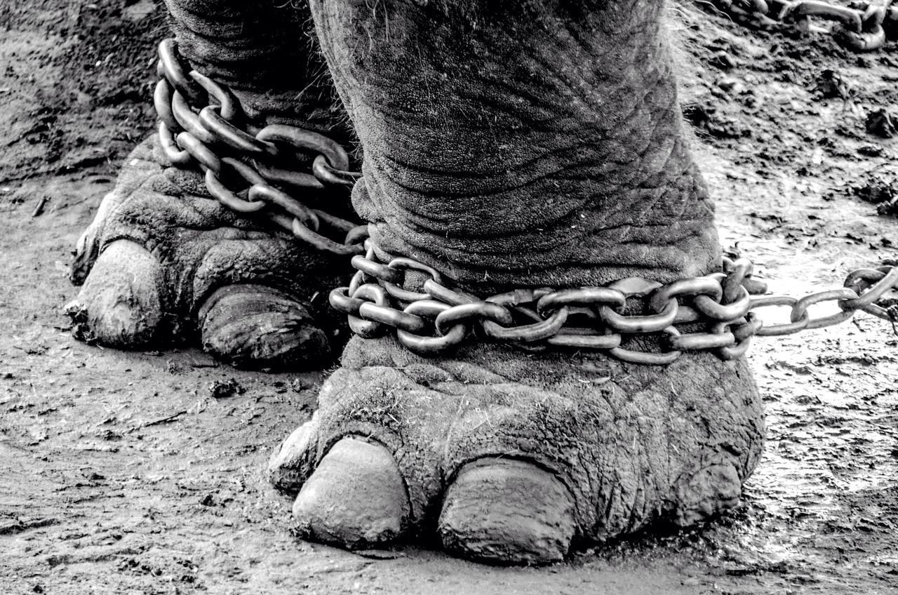 Chained Close-up One Animal Animal Themes No People Mammal Outdoors Animal Leg Day Tail Nature Low Section Elephant Elephant Leg Chain Animals Resist