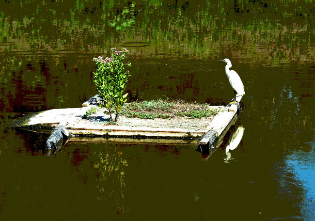 Island Hopper: Egret sits on a man-made island in the North Pond at Los Jilgueros Reserve, owned and maintained by the Falbrook Land Conservancy Beauty In Nature Egret Fallbrook Fallbrook Land Conservancy Floating On Water Los Jilgueros Preser Scenics Tranquil Scene