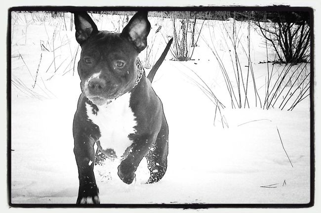 Pitbull Amstaff Americanstaffordterrier Bestdogever#bestfriend