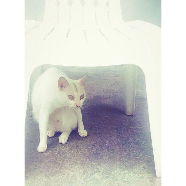 又見面了。 真的那麼喜歡椅子嗎? Cat White cat Chair White Country 白貓 貓