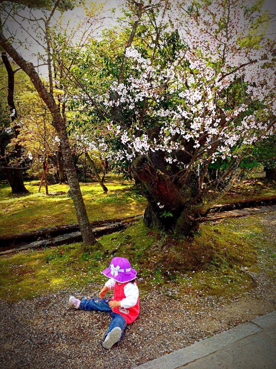 Kyoto Japan Ninnaji Temple Cherry Blossoms Spring 京都 日本 仁和寺 寺 桜 春