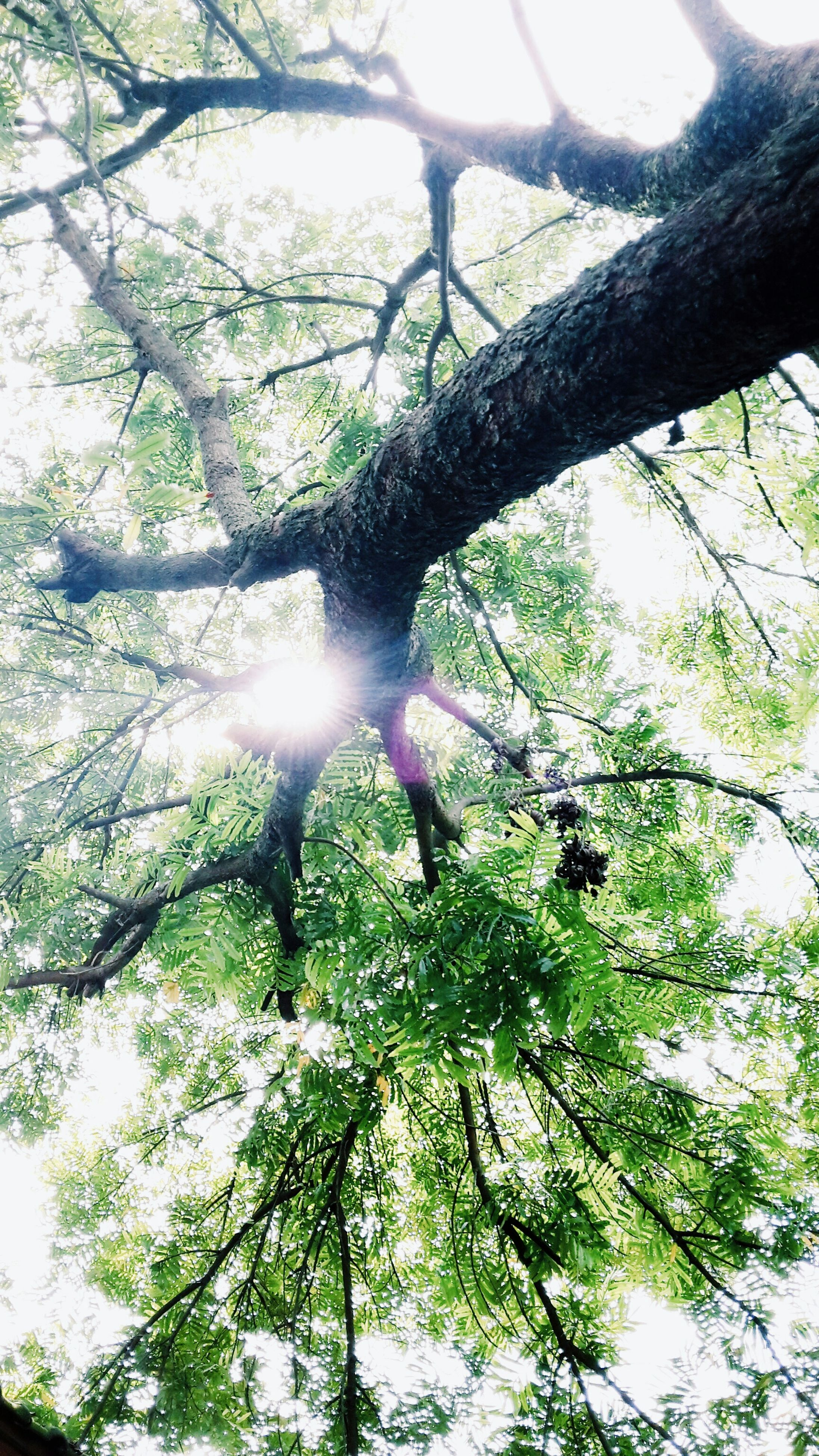 tree, low angle view, branch, growth, sunbeam, nature, sunlight, sun, beauty in nature, tranquility, lens flare, forest, green color, tree trunk, day, sky, scenics, outdoors, tranquil scene, no people