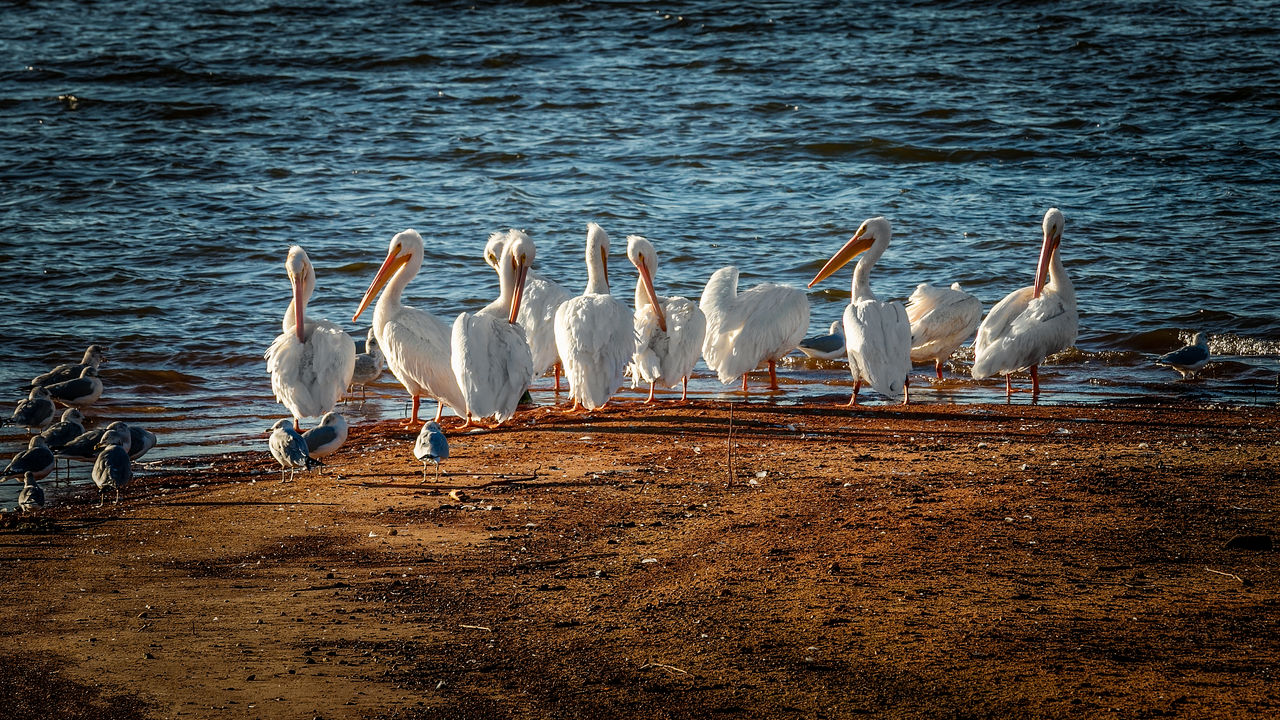 bird, animals in the wild, animal themes, animal wildlife, lake, nature, no people, water, day, outdoors, large group of animals, togetherness, beauty in nature, crane - bird