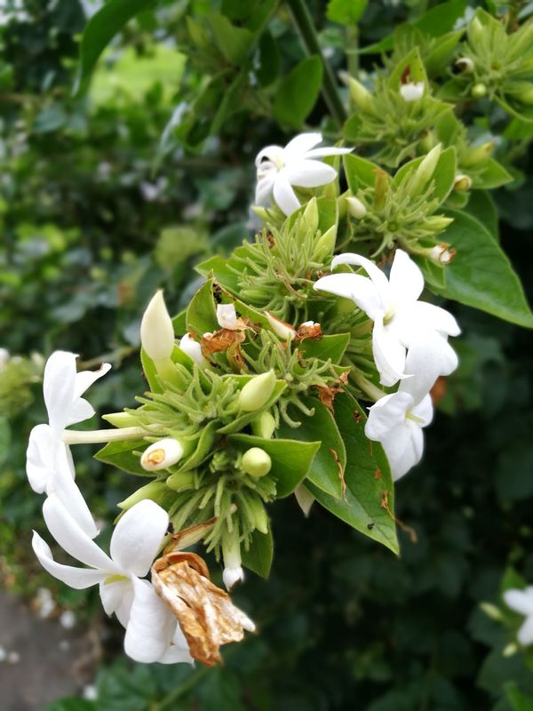 Flower White Color Beauty In Nature Petal Close-up Blossom Branch Green Color Flower Head Costa Rica Flowers,Plants & Garden
