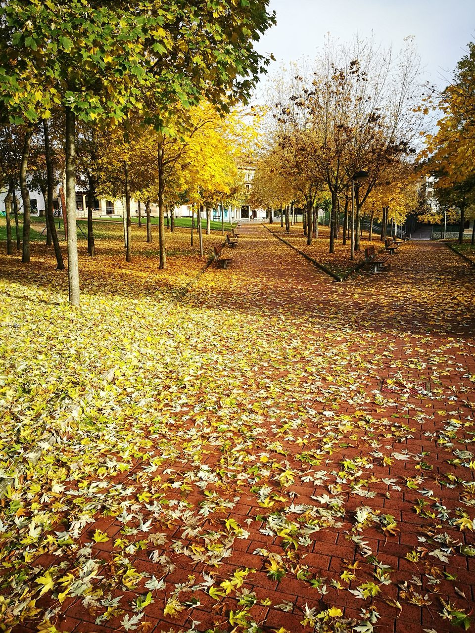 autumn, change, leaf, tree, nature, beauty in nature, tranquility, scenics, fallen, leaves, park - man made space, tranquil scene, outdoors, day, no people, growth, the way forward, landscape, maple, sky