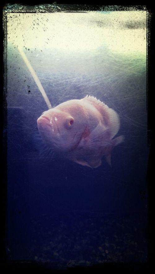 Oscarboytheone, my pet fish (Astronotus Ocellatus)