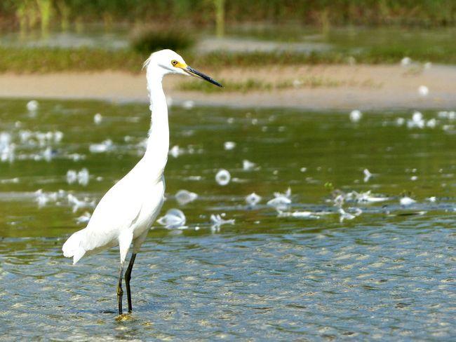 Garças Praia Dos Ingleses Santa Catarina Brasil Birds
