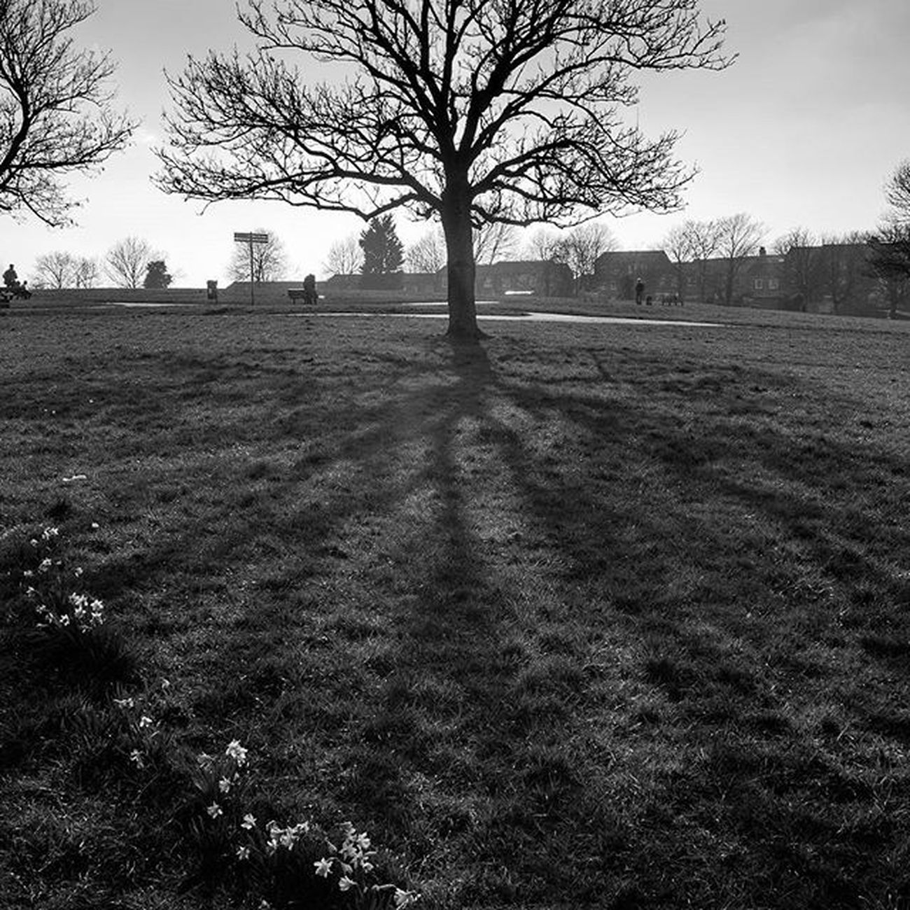 Tree Shadow Daffodils Park Blackandwhite Nature London Blythehillfields Flower