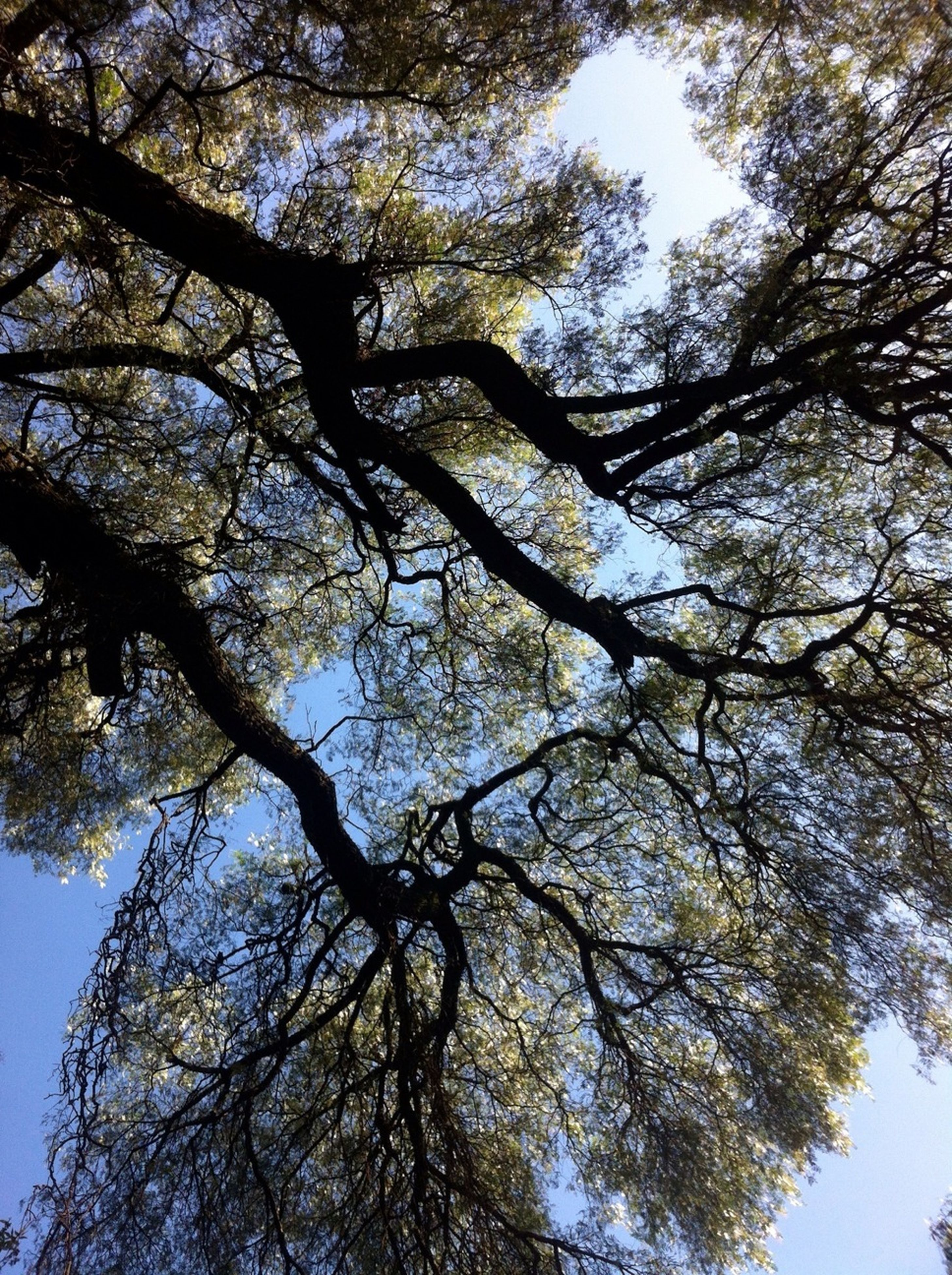 tree, low angle view, branch, growth, nature, sky, tranquility, beauty in nature, clear sky, tree trunk, day, outdoors, no people, scenics, directly below, sunlight, tranquil scene, backgrounds, high section, blue