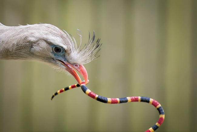 Natures Diversities Bird Snake Prey Animals Nature Wildlife Depth Of Field Dof Colorful Birds Of Prey Predator Check This Out Coral Snake